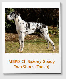 MBPIS Ch Saxony Goody Two Shoes (Toosh)